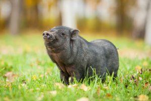 Mini Pig | Exotic feed is available at OBFS