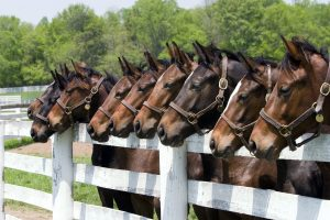 Nine thoroughbred horses all in a row by a fence on a Kentucky farm